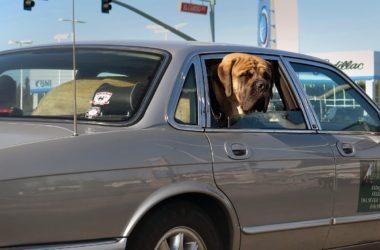 Cestujete často se psem? Pozor na přehřátí